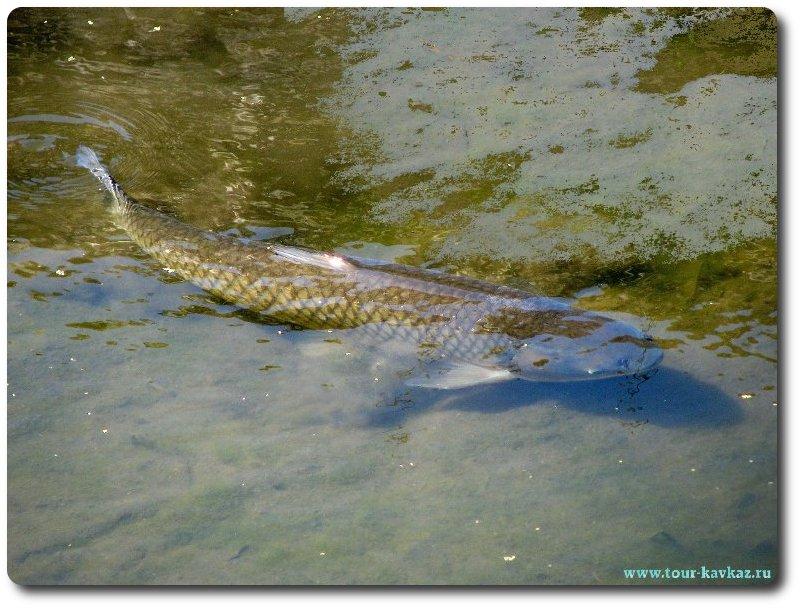 белый амур рыба на что ловить видео