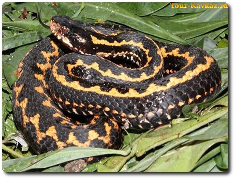 Ядовитые змеи северного кавказа